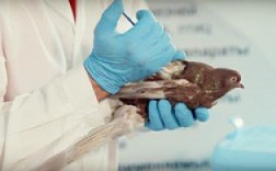 Video on pigeon vaccination against salmonellosis and Newcastle disease